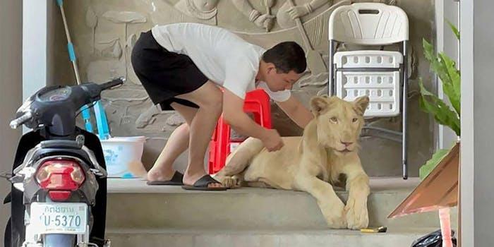 lion cambodia tiktok