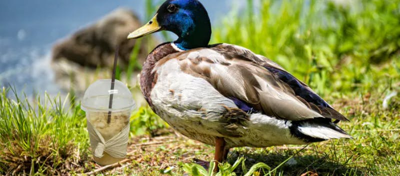 image of a duck next to a milkshake