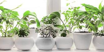 A row of house plants on a windowsill.