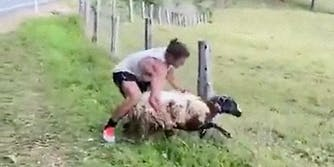 A man helping a sheep out of a fence.