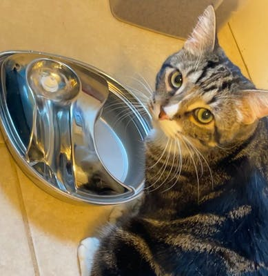 Jonah the cat drinking from pioneer pet fountain