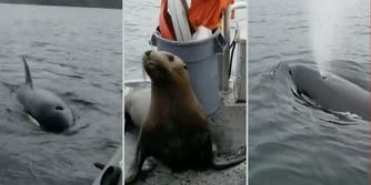 orcas surrounding boat, sea lion on boat