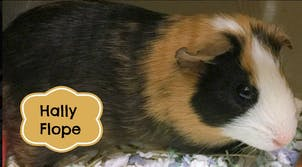 guinea pigs neural network