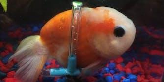 goldfish in a wheelchair
