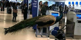 An emotional-support peacock was denied entry on a United Airlines flight.