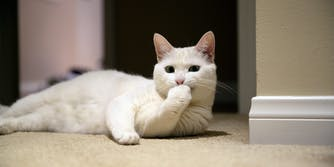 White cat laying on the ground with its hand over its mouth.