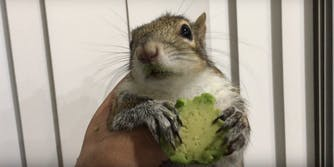 Seymour the squirrel with avocado