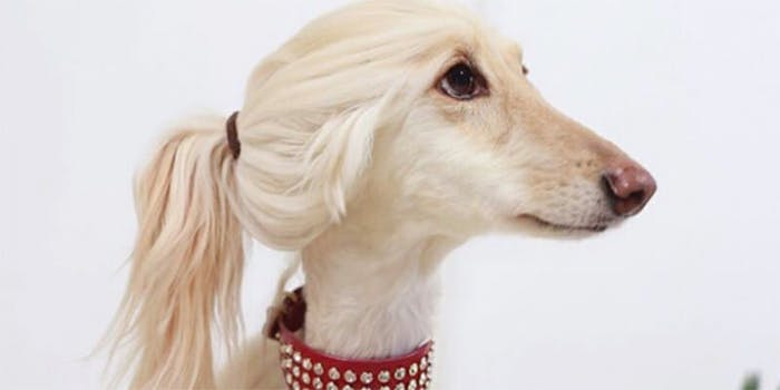 People think this beautiful dog looks like a blonde 'YouTube influencer.'