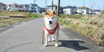 Shiba Inu that inspired the Doge meme is not dead