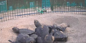 baby turtles livestream