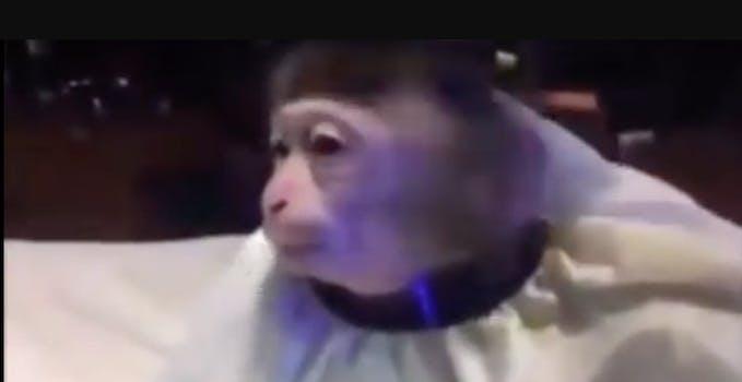monkey haircut meme