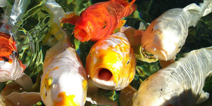 Koi fish sticking their heads up out of the water for food