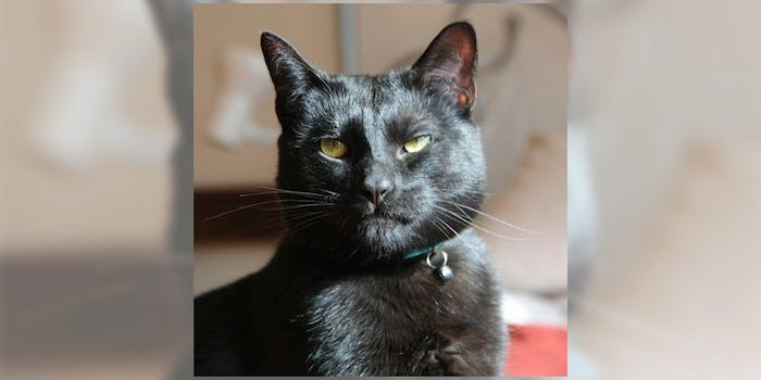 Mr Biggles, a cat up for adoption