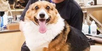 Corgi smiling at the camera. A woman fat shamed a corgi named Pax on Instagram.