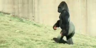 Louis, the bipedal gorilla