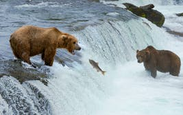 bears salmon stream nature
