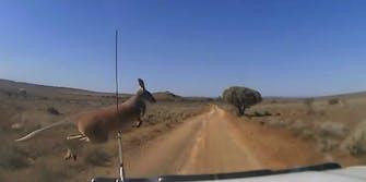 volvo self driving cars kangaroos